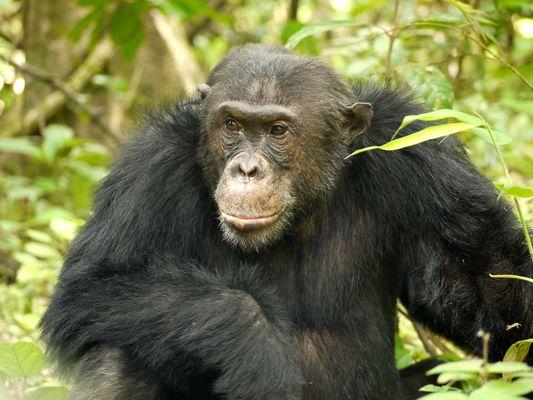 Schimpansenmann Primus