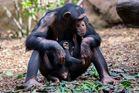 Schimpansenmutter mit Jungtier