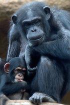 Schimpansenmutter mit Nachwuchs im Loro Parque, Teneriffa