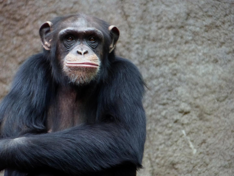 Schimpanze