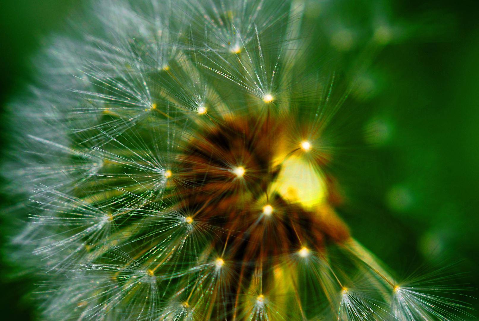 Schirmchen an einer Pusteblume