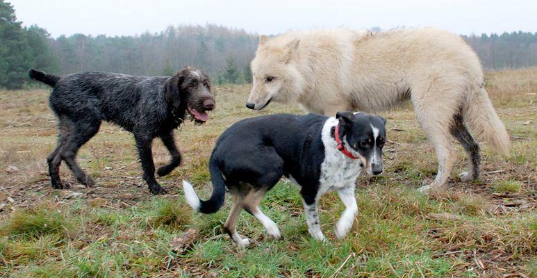 Schisshasenhund