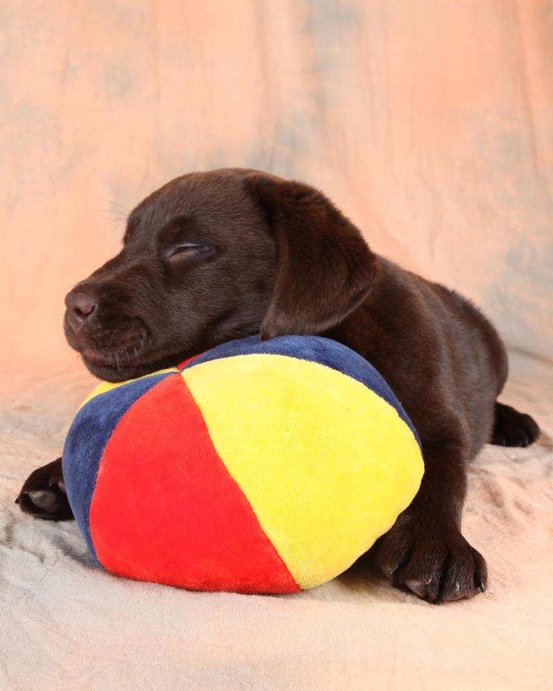 schläfchen für den labrador - labbis dürfen das