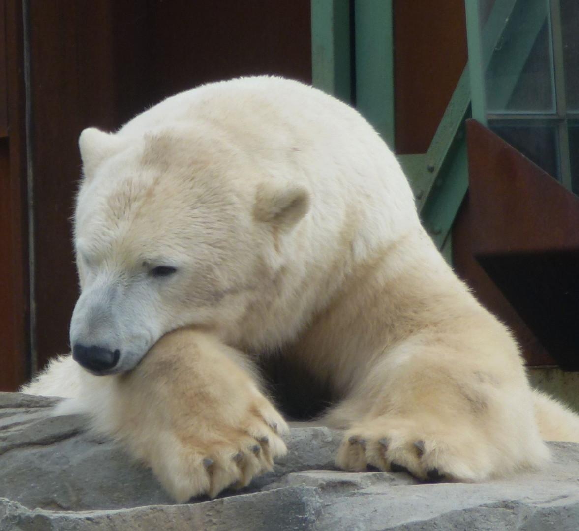 schläfriger Eisbär