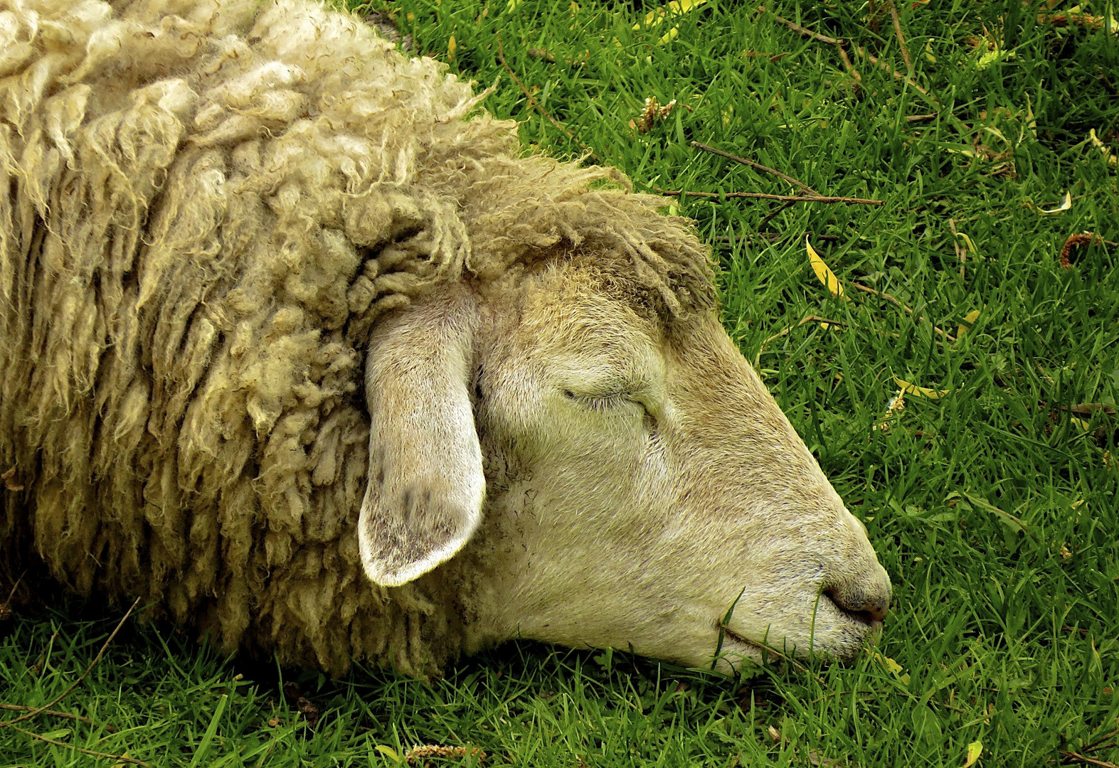 Schlaf-Schaf