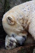 Schlafbär