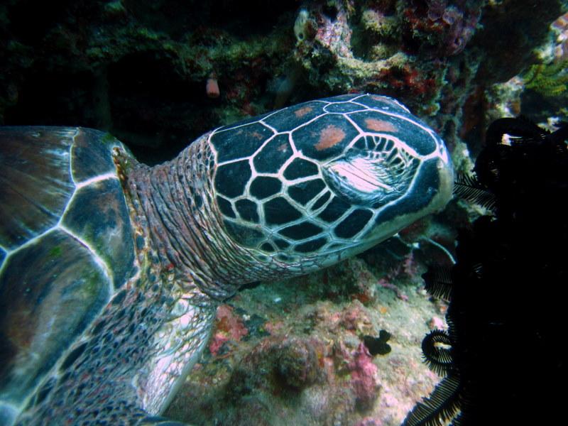 Schlafende Meeresschildkröte