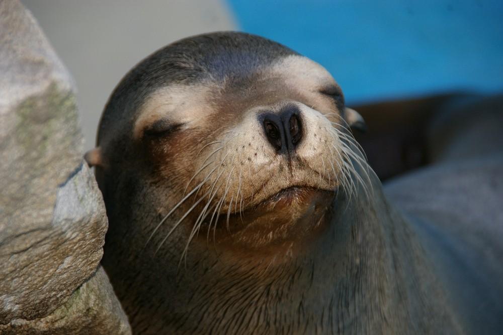 Schlafende Robbe
