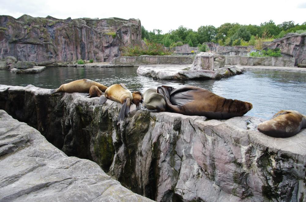 Schlafende Robben III