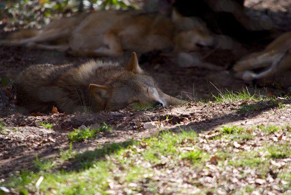 Schlafende Wölfe soll man nicht wecken!