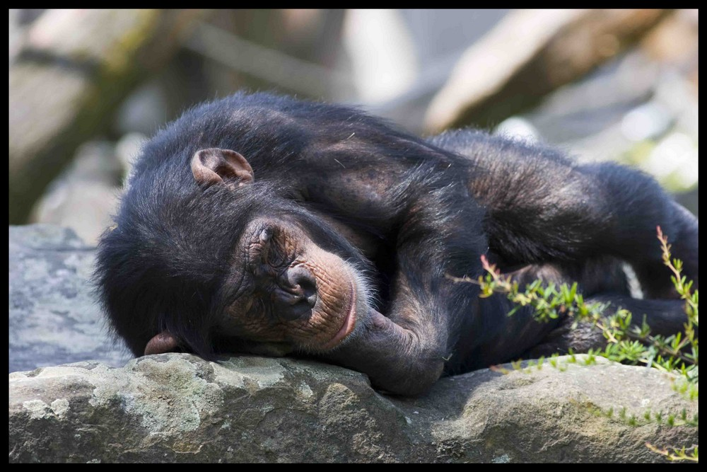 schlafender affe foto bild tiere wildlife s ugetiere. Black Bedroom Furniture Sets. Home Design Ideas