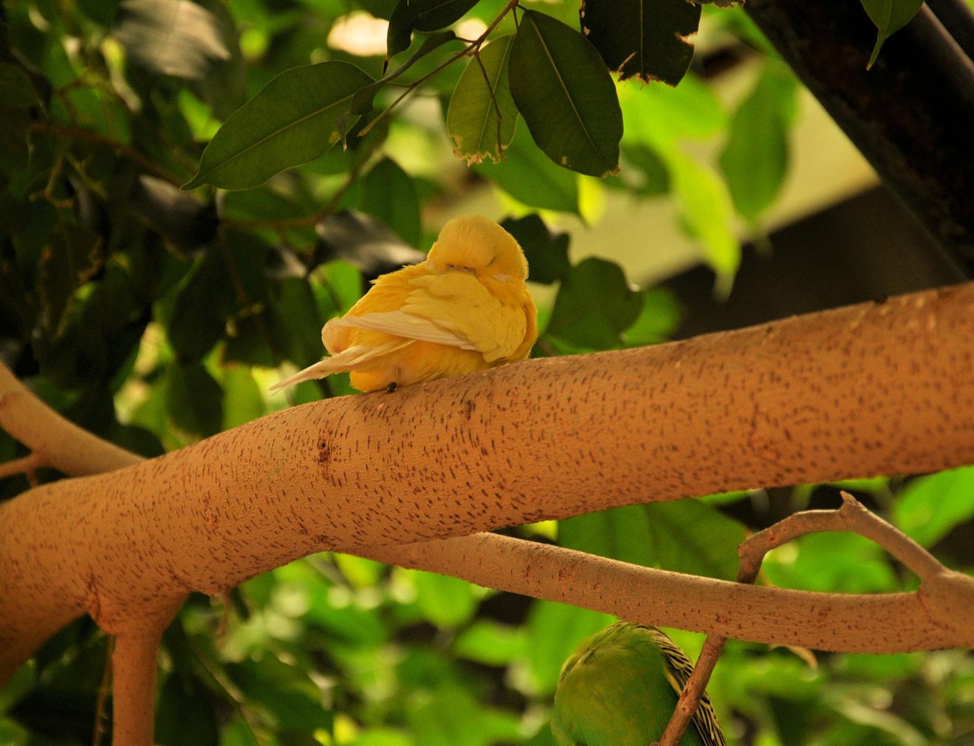 Schlafender Kanarienvogel
