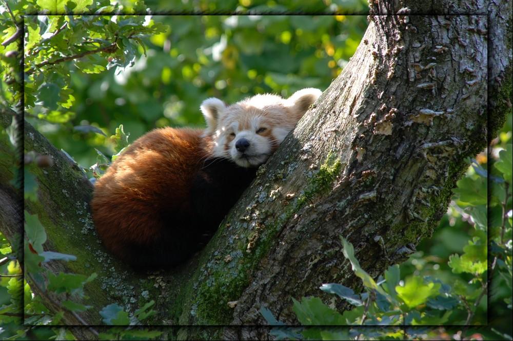 schlafender kleiner panda foto bild tiere zoo wildpark falknerei s ugetiere bilder auf. Black Bedroom Furniture Sets. Home Design Ideas