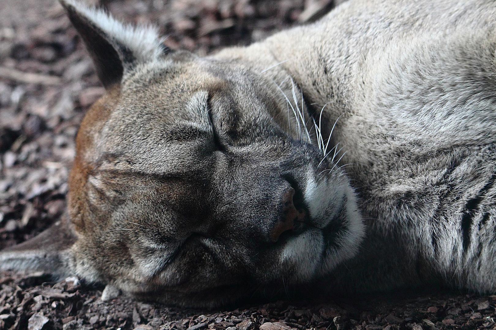 schlafender Puma