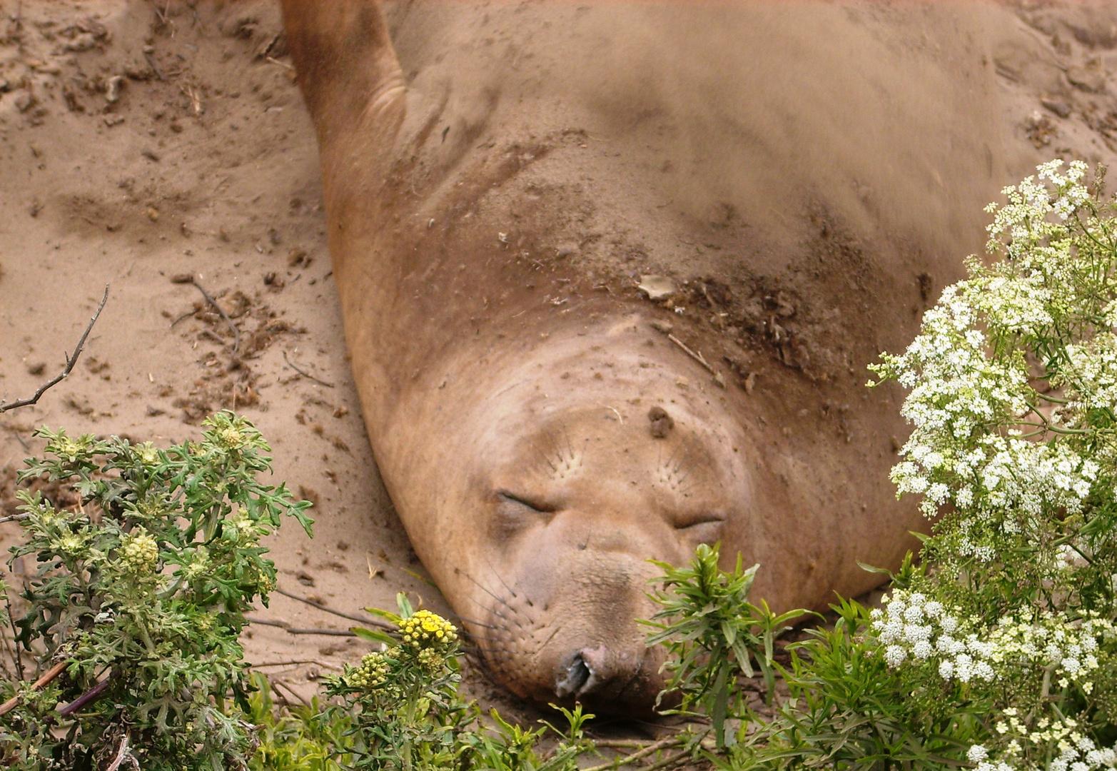 schlafender Seeelefant