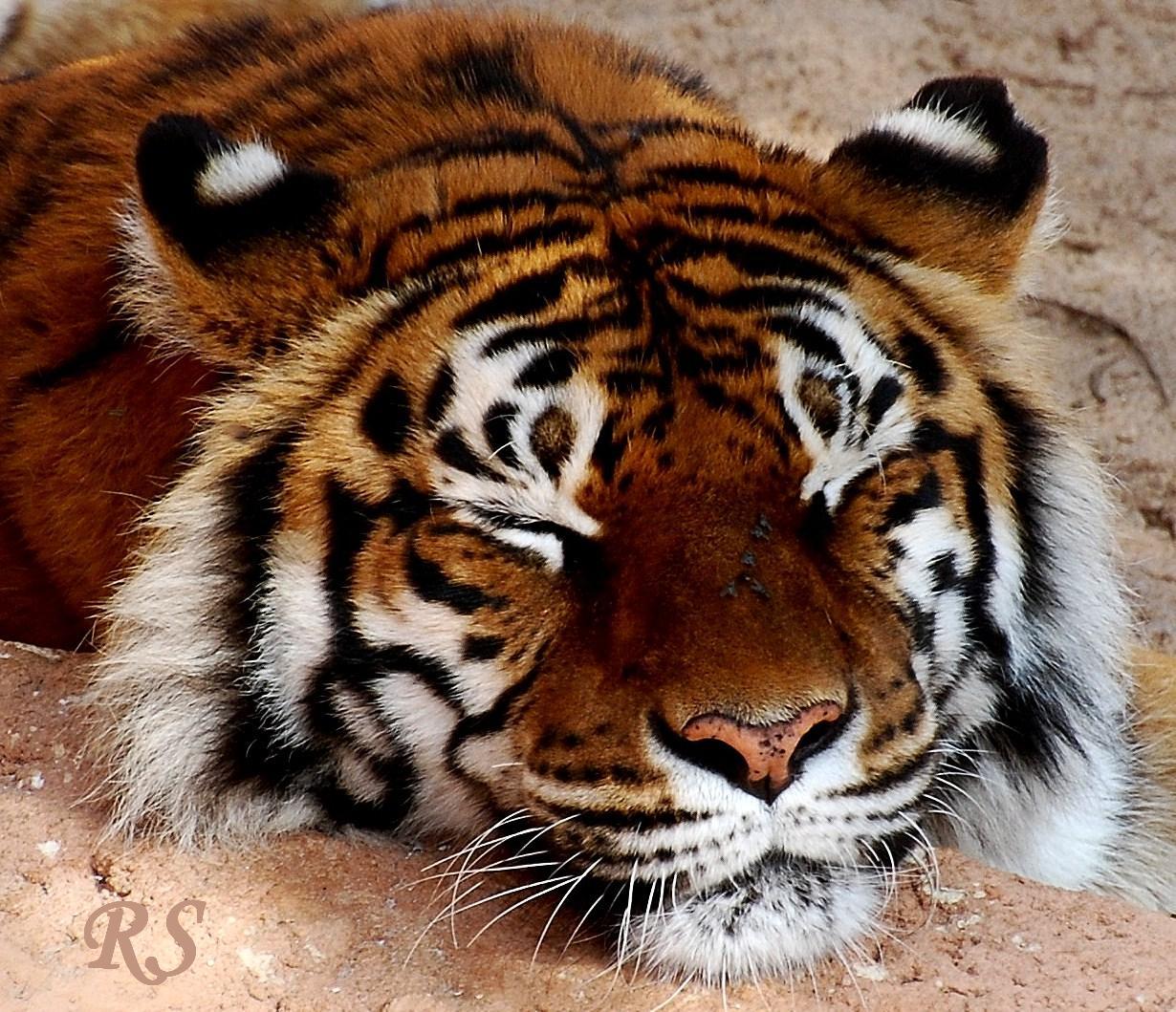 Schlafender Tiger