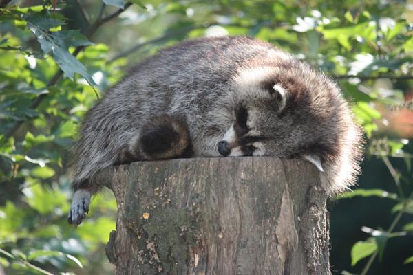 schlafender waschb r foto bild tiere zoo wildpark falknerei s ugetiere bilder auf. Black Bedroom Furniture Sets. Home Design Ideas
