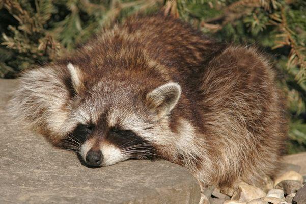 schlafender Waschbär