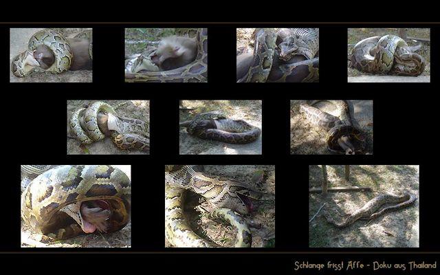 Schlange frisst Affe
