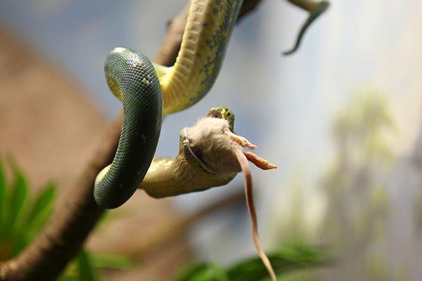 Schlange hat Hunger