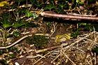 Schlange im Ettlinger Wald