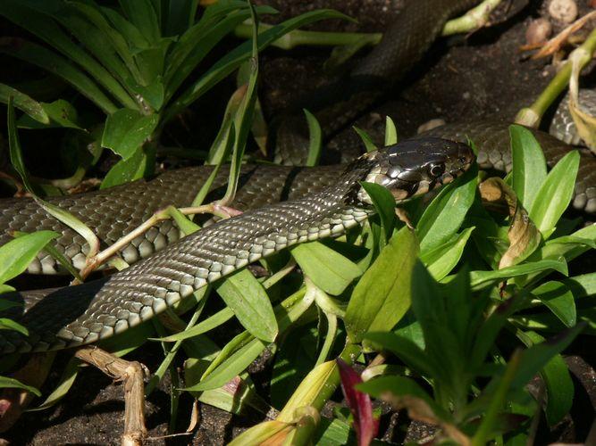 Schlange im Garten