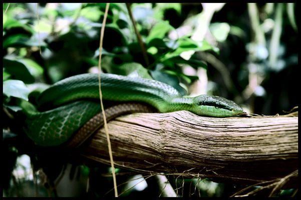 Schlange im Zoo Zürich