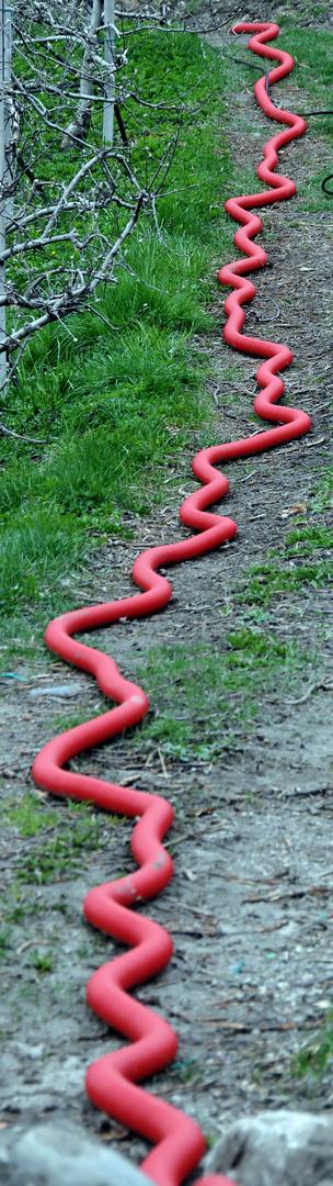Schlange in den Apfelplantagen