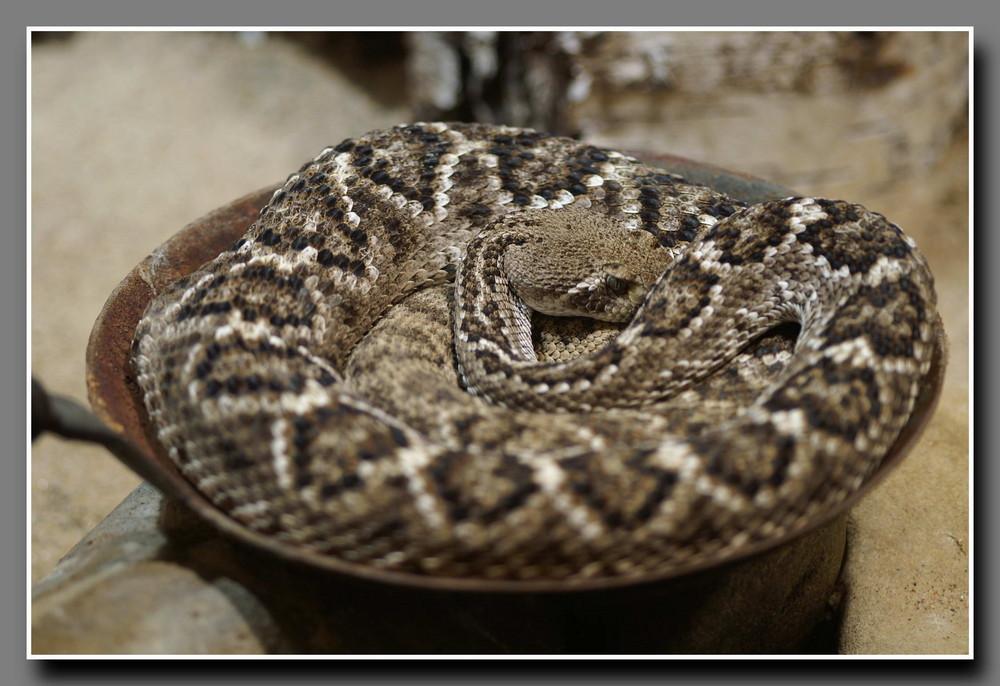 Schlange in der Pfanne
