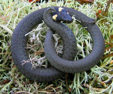 Schlangen-Brezel