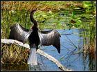 Schlangenhalsvogel - Anhinga  FLORIDA Everglades (2)