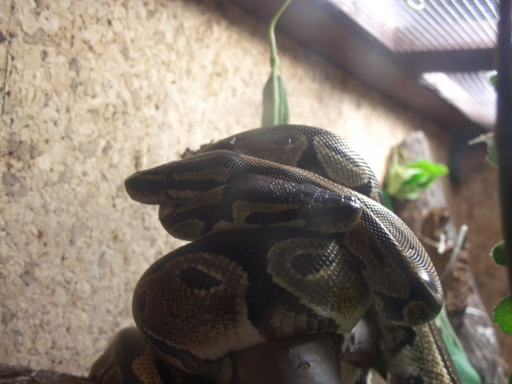 Schlangenknoten