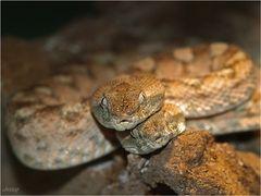 Schlangenliebe