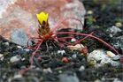 Schlangensteinbrech ( Saxifraga flagellaris)...