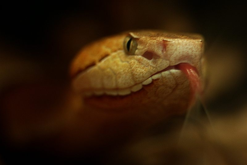 Schlange Zunge