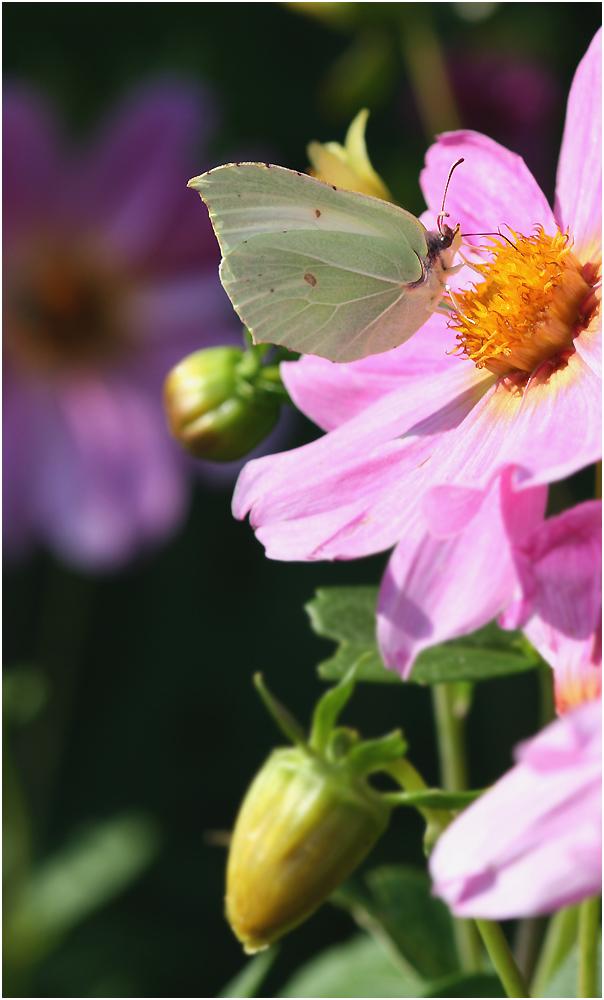 Schlaraffenland des Schmetterlings