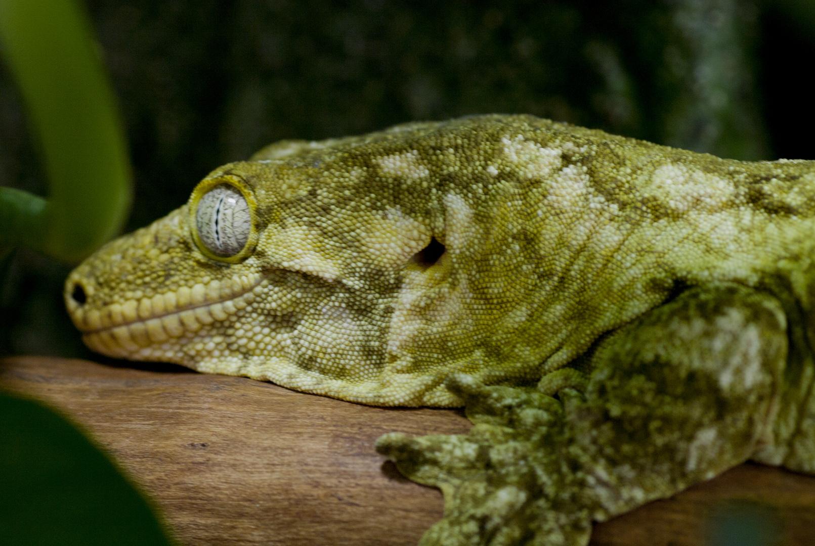 Schleckmaulgecko - ein seltener Riesengecko aus Madagaskar