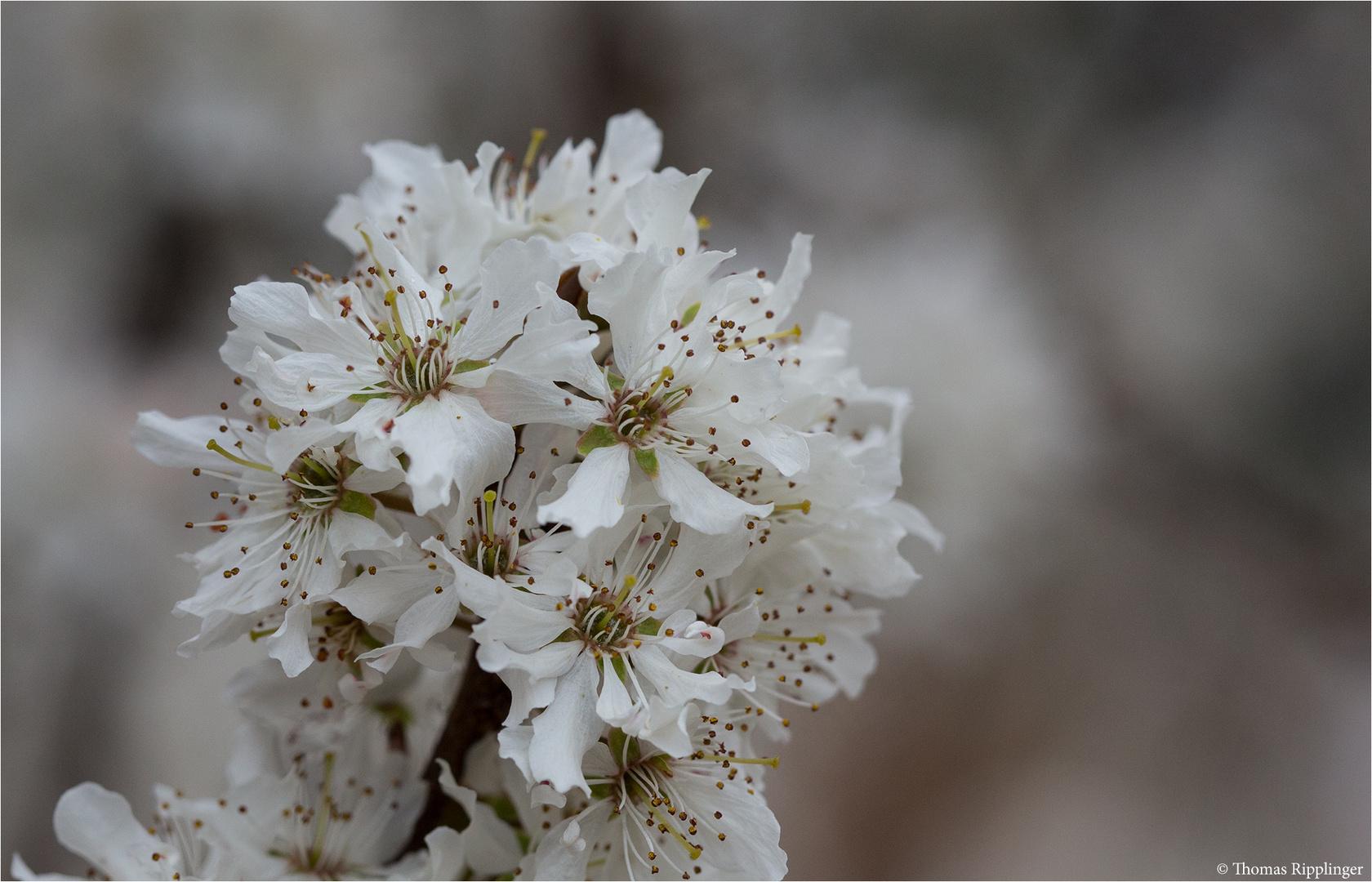 Schlehdorn (Prunus spinosa).