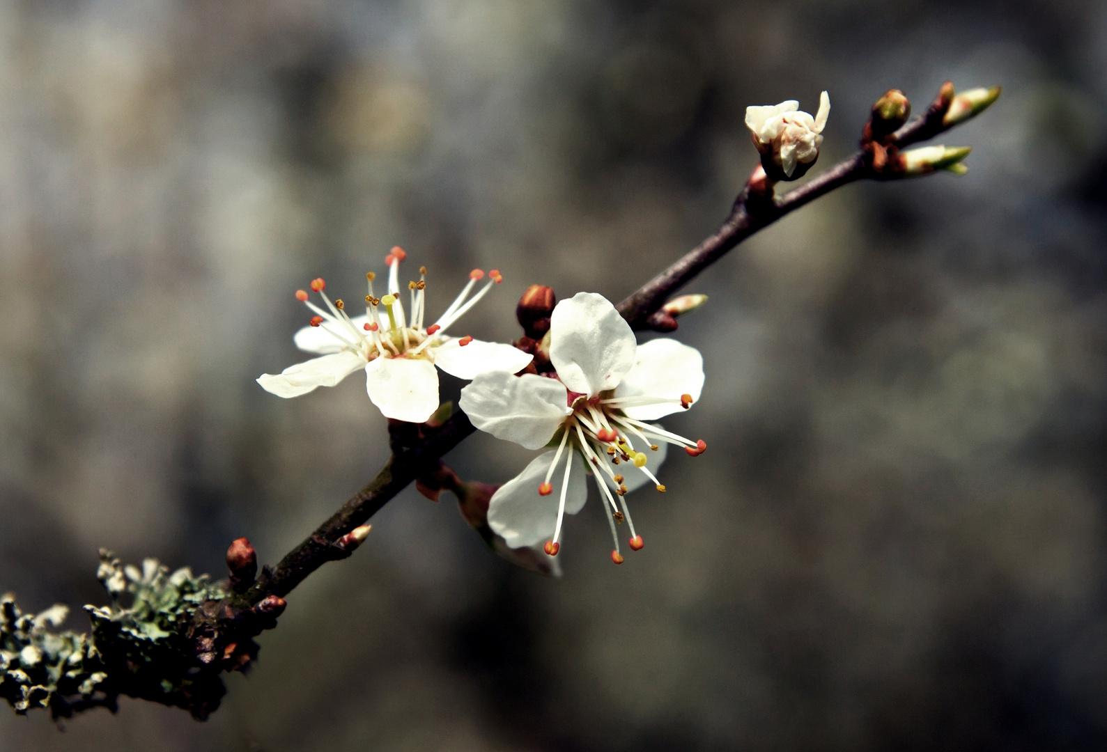 Schlehdornblüten