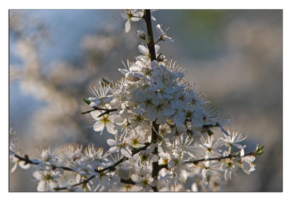 Schlehe in der Blüte