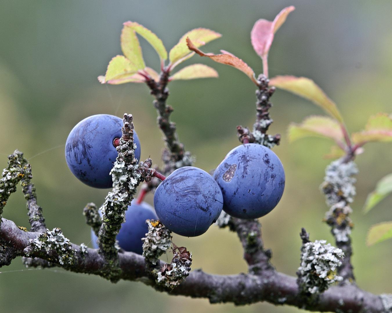 Schlehe / Schwarzdorn Prunus spinosa