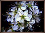 Schlehen-Blüte