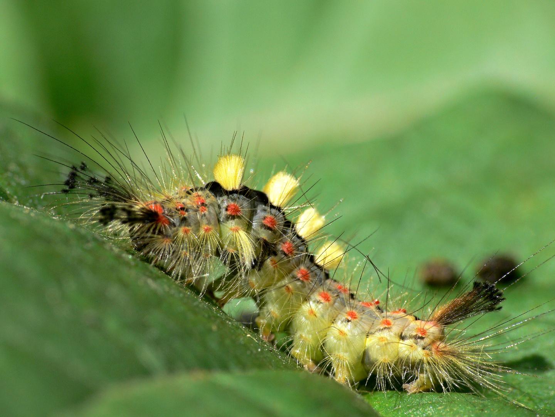 schlehen b rstenspinner foto bild tiere wildlife insekten bilder auf fotocommunity. Black Bedroom Furniture Sets. Home Design Ideas