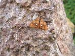 Schlehenspinner - Orgyia antiqua