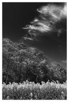 ~ Schleierwolken über Rapsfeld ~