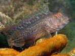 Schleimfisch auf der Ankerkette