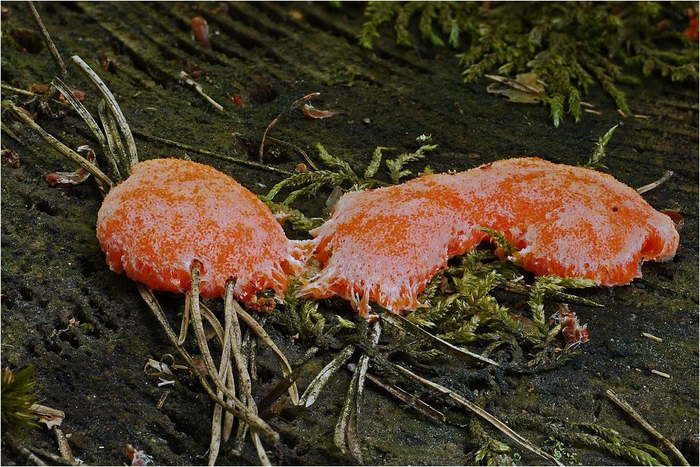 Schleimi frißt Moos und Kiefernadeln