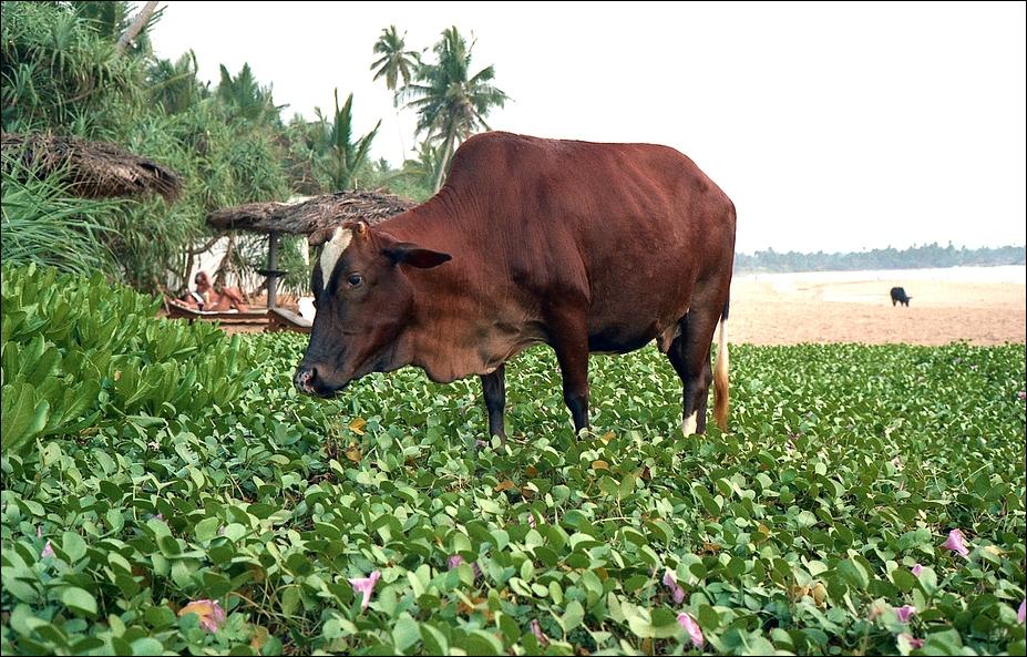 Schlemmer-Ochse, Sri Lanca