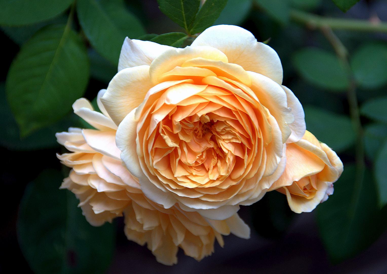 Schleswiger-Holm-Dienstags-Rose