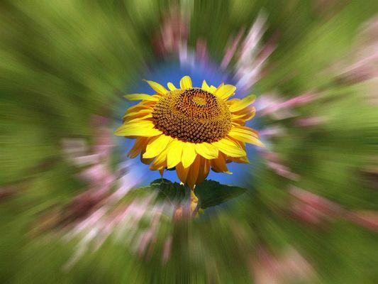 Schlicht und einfach Sonnenblume?